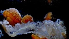 Las medusas grandes del océano con el tentáculo blanco flotan debajo del agua, brillando intensamente en oscuridad en 4k