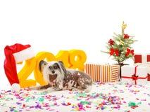 Las mentiras con cresta chinas de un perro acercan a paisaje del ` s del Año Nuevo En el piso confeti multicolor dispersado Aisla Fotos de archivo libres de regalías