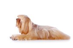 Las mentiras decorativas beige del perrito. Imagenes de archivo