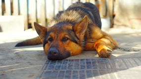Las mentiras del perro de pastor alemán Imagen de archivo libre de regalías