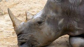 Las mentiras del rinoceronte en la tierra en el Khao Kheow abren el parque zoológico tailandia almacen de video