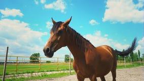 Las mentiras marrones del caballo en la tierra entonces suben Un caballo en el prado en la granja metrajes