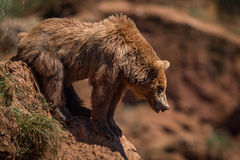 Las miradas del oso de Brown abajo empapan la cuesta rocosa Imagenes de archivo