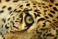 Las miradas fijas del leopardo imágenes de archivo libres de regalías