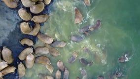 Las morsas pinniped mamíferos en agua de la aero- opinión el Océano ártico sobre la nueva tierra almacen de metraje de vídeo