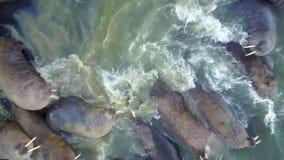 Las morsas pinniped mamíferos en agua fría opinión del helicóptero el Océano ártico de la aero- metrajes