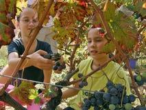 Las muchachas son uvas de la cosecha en el viñedo Fotografía de archivo