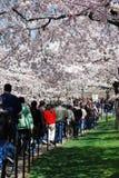Las muchedumbres disfrutan del festival nacional 2008 del flor de cereza Imágenes de archivo libres de regalías
