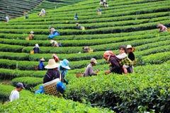 Las mujeres de Tailandia rompen las hojas de té Imagen de archivo