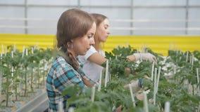 Las mujeres están poniendo las gomas en altos arbustos del tomate en un invernadero metrajes