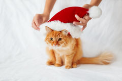 Las mujeres ponen un sombrero rojo de la Navidad en gato del jengibre Imagenes de archivo