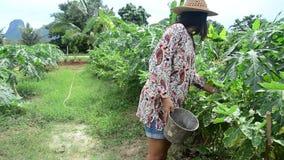 Las mujeres tailandesas cosechan la berenjena tailandesa amarilla de la agricultura en árbol almacen de metraje de vídeo