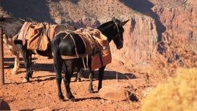 Las mulas descansan sobre ángulo bajo del rastro de South Kaibab metrajes