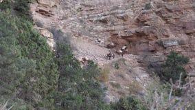 Las mulas transportan en posibilidad muy remota del rastro de South Kaibab almacen de metraje de vídeo
