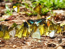 Las multitudes de mariposas viven en el bosque, imagen suave del foco Fotografía de archivo libre de regalías