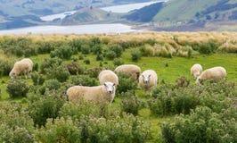 Las multitudes de ovejas pastan en los campos con vistas al mar espectaculares Imagen de archivo