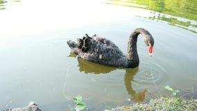 Las nadadas solas hermosas del cisne negro en el lago, comen en el agua, concepto de la fauna almacen de metraje de vídeo