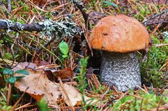 Las nakrywający scaber badyla Leccinum aurantiacum po deszczu zamkniętego w górę Otaczający sosnowymi igłami i cranberry liśćmi G obraz stock