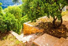Las naranjas caen de un árbol en el campo Imágenes de archivo libres de regalías