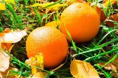 Las naranjas cayeron en la hierba Naranjas entre las hojas de otoño Imágenes de archivo libres de regalías