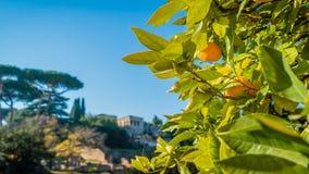 Las naranjas en un árbol en Roma en un día soleado, enfocan adentro almacen de video