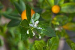 Las naranjas, fruta preferida china, ruegan para propicio, propicio fotos de archivo libres de regalías