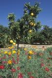 Las naranjas y la primavera florece en Ventura Country, CA Fotos de archivo libres de regalías