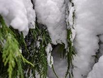 Las nevadas del árbol de hoja perenne foto de archivo