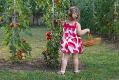 Las niñas escogieron los tomates Imagen de archivo libre de regalías