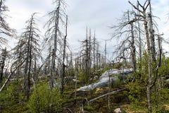 las nie żyje Obrazy Stock