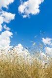 Las nubes de cúmulo en el aero- cielo azul sobre los oídos de maduración del grano de avena colocan Imagenes de archivo