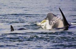 las orcas están saltando en la superficie imágenes de archivo libres de regalías