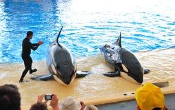 Las orcas muestran en Loro Parque Fotografía de archivo