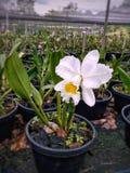 Las orquídeas fotografía de archivo libre de regalías
