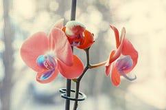 Las orquídeas anaranjadas con los pistilos azules se cierran encima de las flores de la rama Foto de archivo libre de regalías