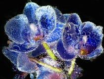 Las orquídeas azules con las burbujas se cierran para arriba en fondo negro Fotos de archivo