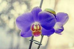 Las orquídeas azules con los pistilos rojos se cierran encima de las flores de la rama, Fotos de archivo libres de regalías