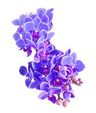 Las orquídeas azules, de color de malva florecen, macro, cierre para arriba, Orchidaceae, Phala Fotografía de archivo