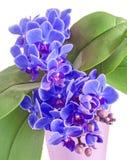 Las orquídeas azules florecen, Orchidaceae, Phalaenopsis conocido como el Mot Fotos de archivo libres de regalías