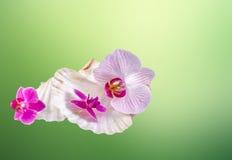 Las orquídeas coloreadas florecen con las cáscaras del mar, fondo del degradee de la textura del verde, cierre para arriba Fotos de archivo