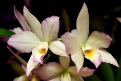 Las orquídeas florecen (el SP del Dendrobium) Foto de archivo libre de regalías