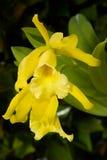Las orquídeas florecen (hybr de Cattleya imagen de archivo libre de regalías