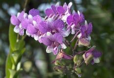 Las orquídeas, púrpura de las orquídeas, púrpura de las orquídeas se consideran la reina o Imagen de archivo