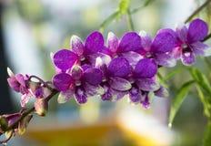 Las orquídeas, púrpura de las orquídeas, púrpura de las orquídeas se consideran la reina o Imagenes de archivo