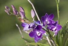 Las orquídeas, púrpura de las orquídeas, púrpura de las orquídeas se consideran la reina o Fotografía de archivo libre de regalías
