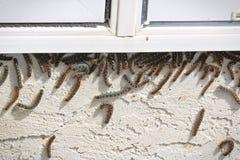 Las orugas de tienda suben para arriba debajo de una ventana durante una infestación imagen de archivo libre de regalías