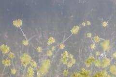 Las Oryzae del aspergillus son un hongo filamentoso, o el molde que se utiliza en la producción alimentaria, por ejemplo en la fe foto de archivo libre de regalías