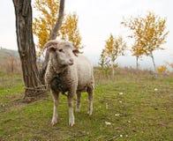 Las ovejas Imágenes de archivo libres de regalías