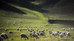 Las ovejas Foto de archivo libre de regalías