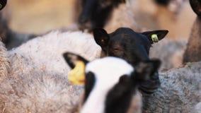 Las ovejas acentuadas permanecen en manada en la granja y miran a los left and right almacen de metraje de vídeo